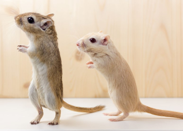 Thelma and Louise Style Suicide Pact for Hurdling Gerbils